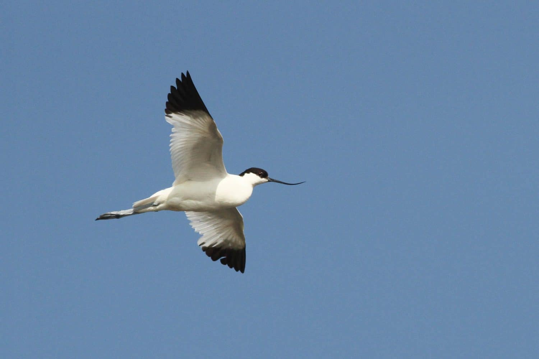 rps-nieuws-vogeleilanden-grevelingen-vliegende-kluut